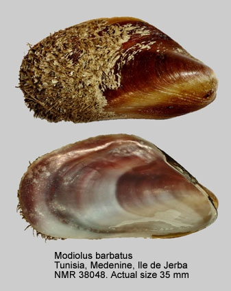 Modiolus barbatus