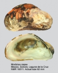 Modiolus capax