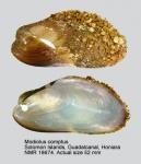 Modiolus comptus