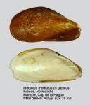 Modiolus gallicus