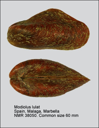 Modiolus lulat