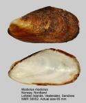 Modiolus modiolus