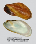 Modiolus philippinarum