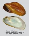 Modiolus philippinarum