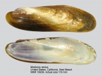 Modiolus rectus