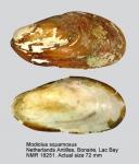 Modiolus squamosus