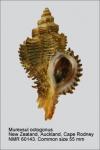 Murexsul octogonus