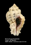 Muricodrupa fenestrata
