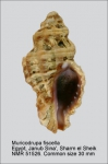Muricodrupa fiscella