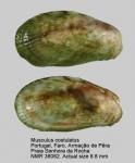 Musculus costulatus