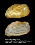 Musculus cumingianus