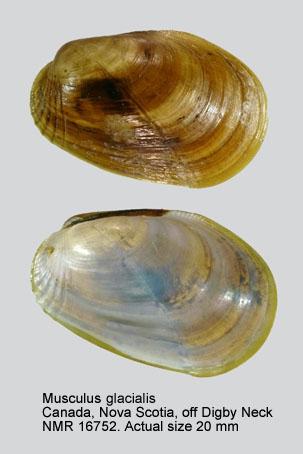 Musculus glacialis