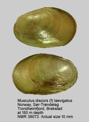Musculus discors