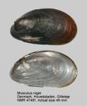 Musculus niger