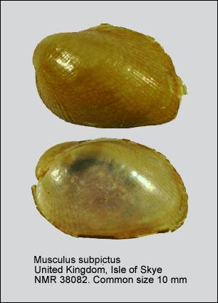 Musculus subpictus