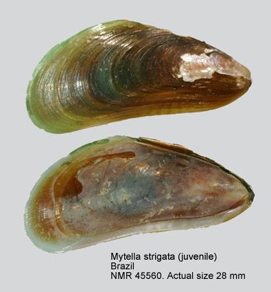 Mytella charruana