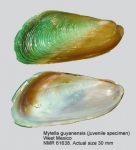 Mytella guyanensis