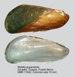 Mytella guyanensis