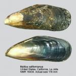 Mytilus californianus