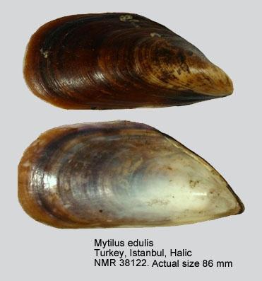 Mytilus galloprovincialis