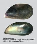 Mytilus platensis