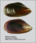 Mytilus trossulus