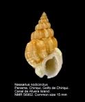 Nassarius nodicinctus