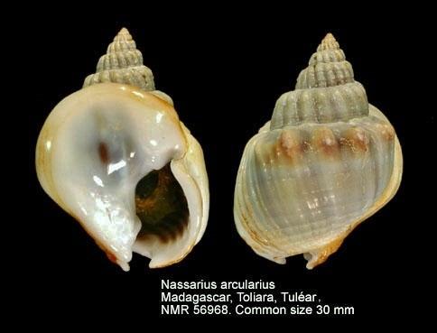 Nassarius arcularia