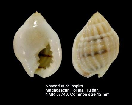 Nassarius callospira