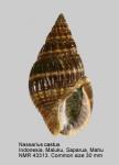 Nassarius castus