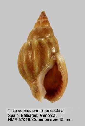 Nassarius corniculum