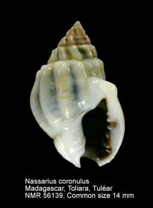 Nassarius coronulus