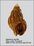 Nassarius dentifer