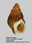 Nassarius gayii