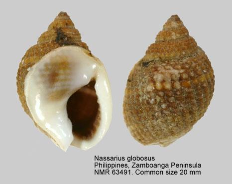 Nassarius globosus