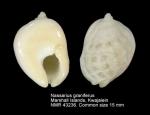 Nassarius graniferus
