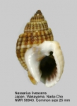Nassarius livescens