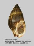 Nassarius nitidus