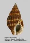 Nassarius olivaceus