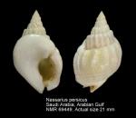 Nassarius persicus