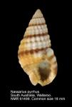 Nassarius pyrrhus