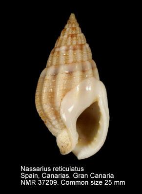 Nassarius reticulatus
