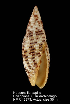 Neocancilla papilio