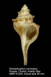 Nodulotrophon coronatus