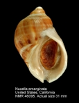 Nucella emarginata