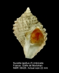 Nucella lapillus