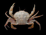 Liocarcinus navigator (Herbst, 1794)