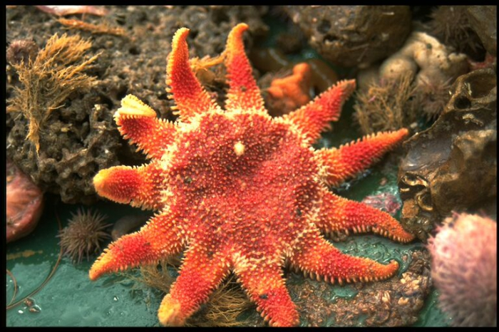 Common sun star - Crossaster papposus (Linnaeus, 1767)