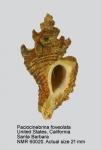 Ocinebrina foveolata