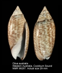 Oliva australis